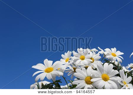 daisies - daisy flowers spring blossom