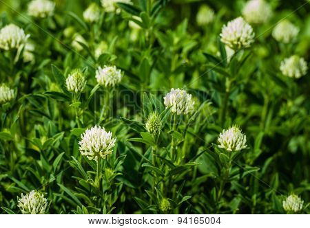 Cream-colored Flower Heads Of Sulphur Clover