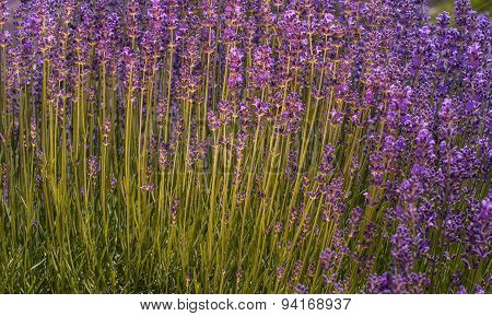 Lavender Flowers on Field in the summer