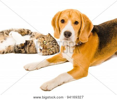 Portrait of a beagle and cat Scottish Fold together