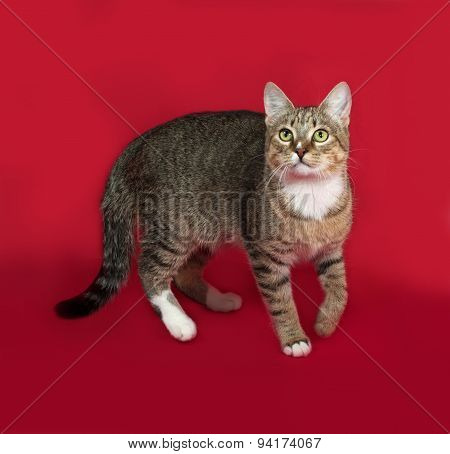 Striped And White Cat Standing On Red