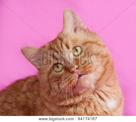 Red Cat Sitting On Pink