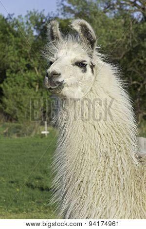 Llama, white