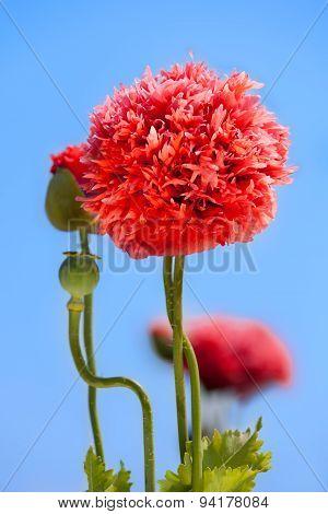 the red poppy flower