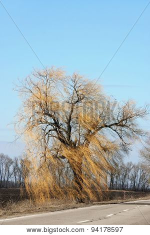 Authentic Landscape Of Willow Branches In A Strong Wind Against The Sky, Spring Day, As A Background