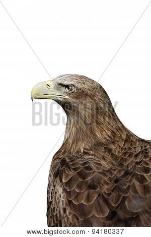 Portrait Of A Eagle Isolated On White