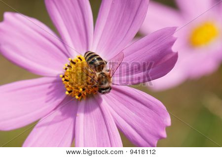 bee collecting dust from the flower