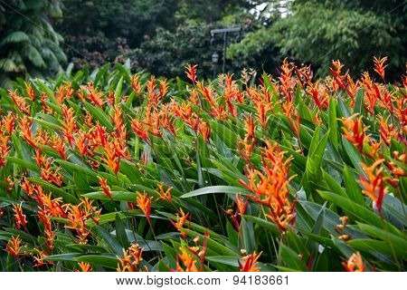Heliconia flowers in the garden