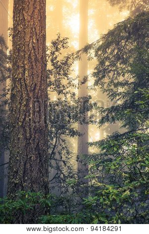 Wild Redwood Forest