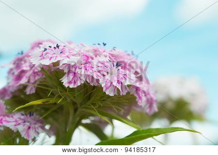 Blossoming flowers wild carnations over the sky