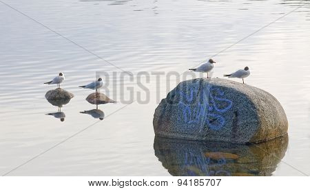 Four Black Headed Gull Standing On Stones