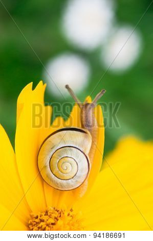 Yellow daisy with a snail