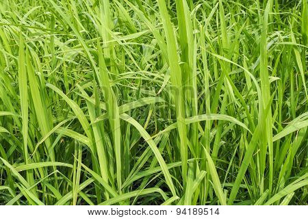 Rice Green Leaves In Cultivation Plant