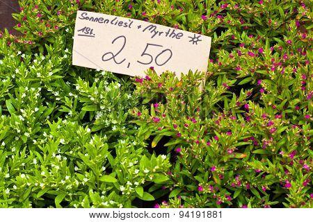 Myrtle On Flower Market