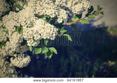Large Number Of White Florets With A Retro Effect