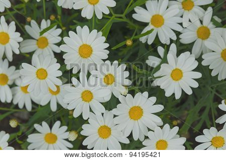 Daisy Background