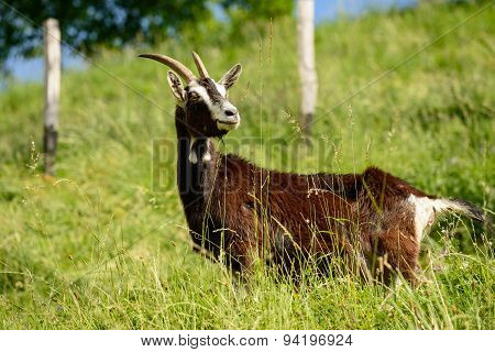 Italian Goats Grazing Freely