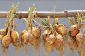 stock photo of bundle  - hanging bunch bundle of onion - JPG
