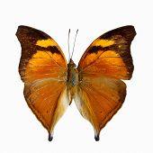 stock photo of butterfly  - Orange butterfly Autumn Leaf butterfly Nymphalid butterfly  - JPG