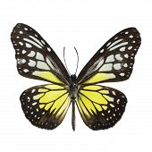 foto of white-tiger  - Yellow Glassy Tiger butterfly  - JPG
