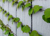 stock photo of ivy  - Boston Ivy on a white wooden wall - JPG