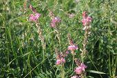 picture of alfalfa  - Pink alfalfa flowers bloom on the meadow - JPG