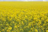 pic of rape  - Yellow oilseed rape field under the blue sky with sun - JPG