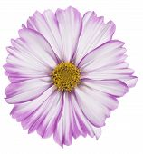 image of cosmos flowers  - Studio Shot of Fuchsia and White Colored Cosmos Flower Isolated on White Background - JPG