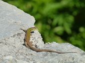 pic of lizards  - A colorful lizard - JPG