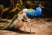image of peahen  - Peacock photographed from side with colourful tail in foreground and head in profile in background - JPG