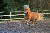stock photo of wild horse running  - Brown horse running on riding field in sunset - JPG