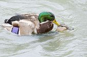 stock photo of mating  - Photo of a mallard ducks mating in a pond.