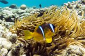 pic of damselfish  - Anemone fish (Amphiprion bicinctus) ) in the background with anemone.Coral reef Red Sea Egypt ** Note: Soft Focus at 100%, best at smaller sizes - JPG