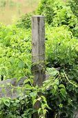 picture of vegetation  - Fence post being overtaken by green vegetation in early summer - JPG