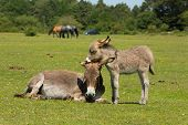 foto of donkey  - Mother and baby donkey showing love and affection in the New Forest Hampshire England UK in the summer sunshine - JPG