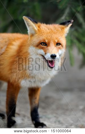 Wild Red Fox Portrait