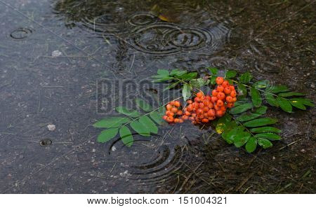 Autumn mood. Bunch of rowan berries in water puddle at rainy weather.