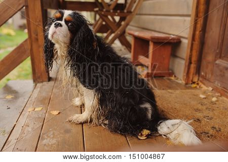 wet and dirty cavalier king charles spaniel dog after the walk in autumn sitting at country house