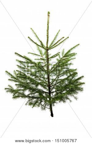 Fir tree for Christmas not adorned isolated on white without shadow