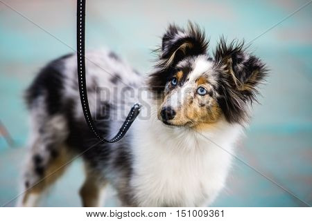 Blue Merle Shetland Sheepdog on a walk