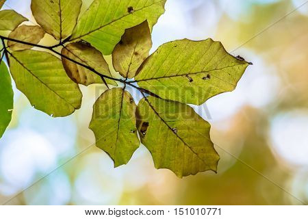 Autumn Leaves Of European Beech In Bright Colors