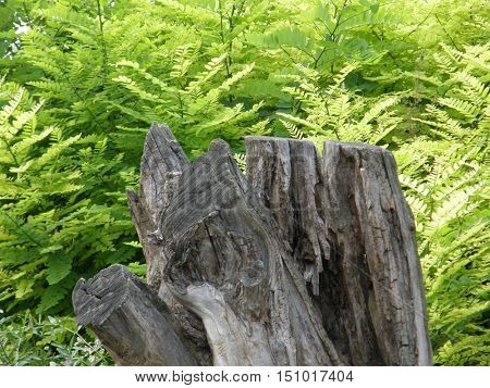 Old tree stump in the woods on a background of tree leaves.