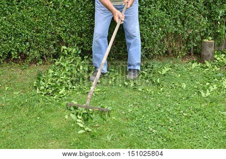 Raking leaves and branches after hedge trimming