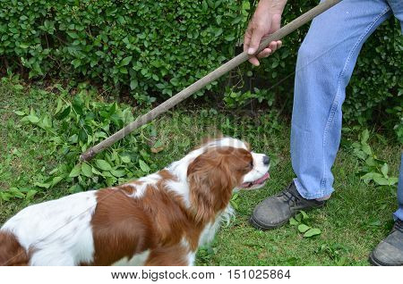 Raking a garden lawn after trimming the hedge with company of his dog