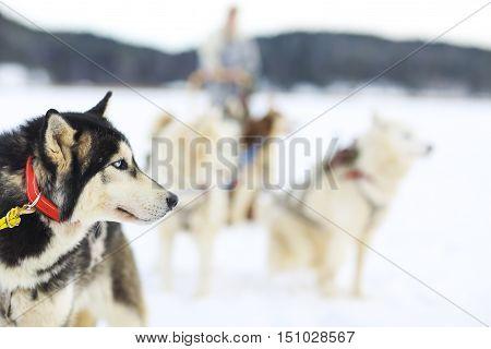 Sledding with husky dogs. Northern polar circle. Lapland.