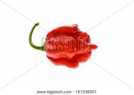 Fresh Ripe Trinidad Scorpion Moruga Hot Chili Pepper.