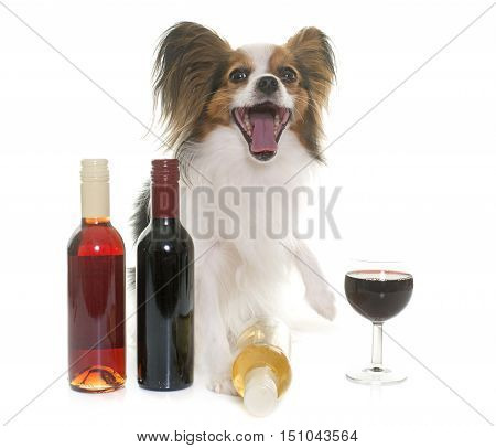papillon dog and wine in front of white background