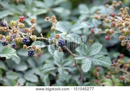 Detail of a bramble bush, laden with wild fruits, in early summer on the hills between Emilia Romagna and Tuscany.
