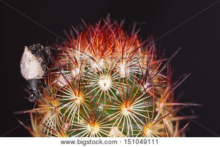 Black beetle on a cactus close-up. Macro photo.