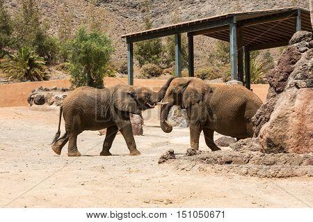 Two big  African Elephant bulls play fighting
